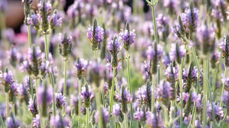 Las flores de Lavandula multifida Archivo de Video