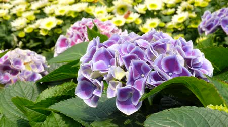 hortênsia : Purple Hydrangea flower in a garden