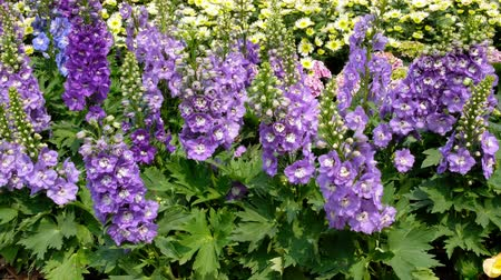 krzak : Delphinium,Candle Delphinium purple flowers blooming in the garden