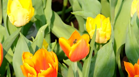 flying upwards : Bee flying over orange tulip Stock Footage