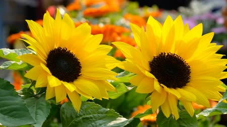 Beautiful yellow sunflower in the sun Stock Footage