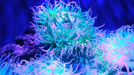 fluorescent : Closeup sea anemone, sea life