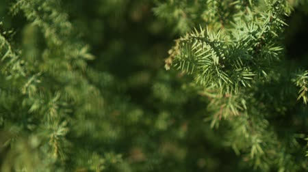 krzak : Decorative juniper bush on the site. Elastic green needles on the branches. Juniper closeup in the rays of the sun. Wideo