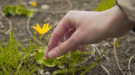 easily : Female hand picking up a yellow flower from grass in top view