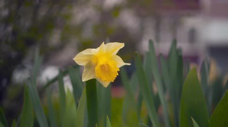 narciso : Daffodil flower and green leaf in daffodil flower garden at sunny summer or spring day. Daffodil flower for postcard beauty decoration and agriculture concept design. Yellow daffodil flower.