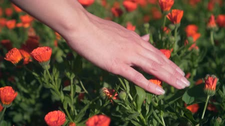 calendula officinalis : Womans hand touches calendula flowers. The woman leads smoothly and gently with her hand over the tops of the calendula flowers. The concept of human unity with nature
