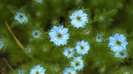 kırılganlık : Nigella damascena early summer flowering plant with different shades of blue flowers on small green shrub, beautiful ornamental garden plant. Beautiful flowers of blue color.