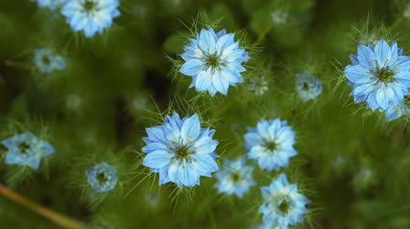 sativa : Nigella damascena early summer flowering plant with different shades of blue flowers on small green shrub, beautiful ornamental garden plant. Beautiful flowers of blue color.
