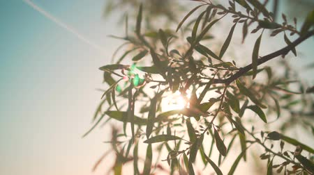 Closeup of fresh green foliage in slow motion. Bright bushes in the rays of the setting sun.