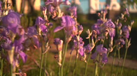 Purple irises flowers in the sunset sun. Purple irises in a flower bed, the camera moves from right to left.