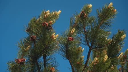 The tops of the green pine branches with young cones against the clear blue sky. Summer time.