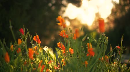 Orange flowers in the sunset sun, in the background green trees. The wind blows on the orange flowers at sunset. Sun Overexposure Effect Stock Footage