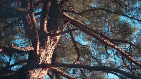 A close-up of the trunk and large branches of an old pine tree with cones against a clear blue sky. Old pine in the sunset sun.