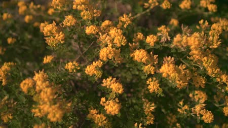 Green shrub blooming with yellow flowers in the sunset sun. Decorative bloom in natural sunlight yellow. Stock mozgókép