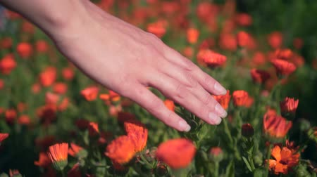 calendula officinalis : Womans hand touches calendula flowers. The woman leads smoothly and gently with her hand over the tops of the calendula flowers. Colorful herbs grow in the garden.