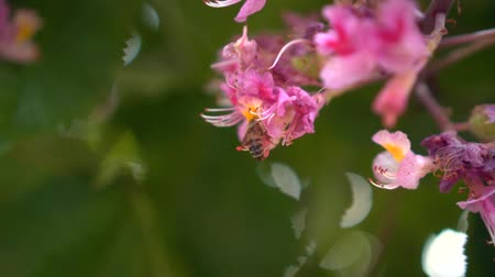 polinização : Branches of pink chestnut with flowers in spring. Pink chestnut flowers are pollinated by a bee, closeup on a spring day. Stock Footage