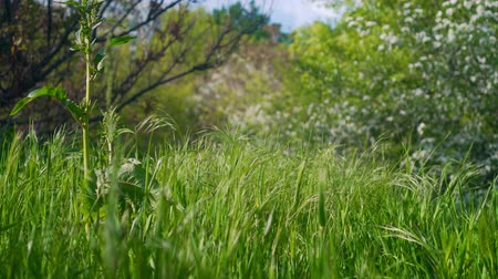 fresh air : Movement, a light breeze rustles wavy green spikelets of grass in the meadow among the glade filled with light.