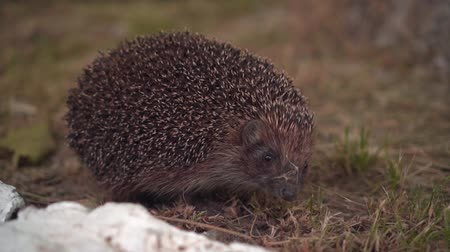 pichlavý : Hedgehog in the green grass walks. Hedgehog in the wild in green grass. The nature of wild animals.