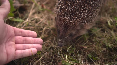 dikenli : Hedgehog in the green grass walks and sniffs a mans hand. Hedgehog in the wild in the green grass reaches for the male hand. The nature of wild animals.