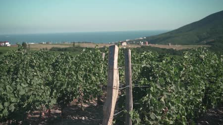 farmers : Rows of the vineyard against the backdrop of green mountains, blue sea, sky and a small village. Sunny day. The camera moves from right to left.