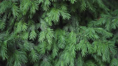 gumka : Juniper evergreen ornamental shrub on the site. Elastic green needles on the branches. Close-up of juniper branches. Wideo