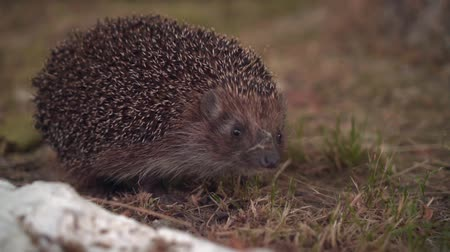 csibész : Hedgehog in the green grass walks. Hedgehog in the wild in green grass. The nature of wild animals.