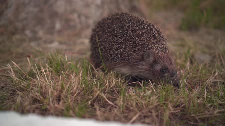 dikenli : Hedgehog in the green grass walks. Hedgehog in the wild in green grass. The nature of wild animals.
