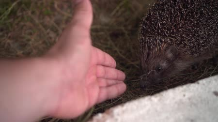 csibész : Hedgehog in the green grass walks and sniffs a mans hand. Hedgehog in the wild in the green grass reaches for the male hand. The nature of wild animals.