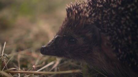 spiny : Hedgehog in the green grass walks. Hedgehog in the wild in green grass. The nature of wild animals.