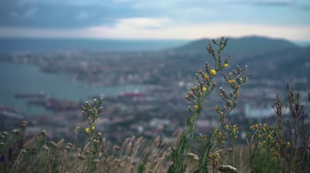 enviroment : Panoramic view of the city from the heights of the mountains. Footage of the city with a bay, port, buildings, mountains. Ariel, view of Novorossiysk. Russia. In the foreground, yellow blooming grass. Stock Footage