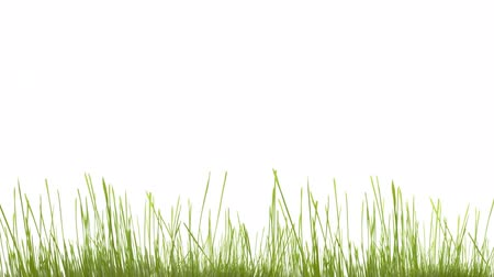 obec : Green grass growing isolated on white, smooth timelapse. With copy space for your text.