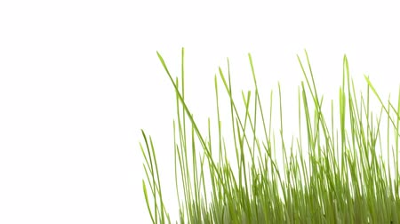 Green grass growing isolated on white, smooth timelapse. With copy space for your text.
