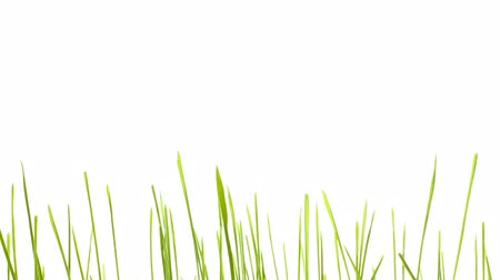 çim : Green grass growing isolated on white Stok Video