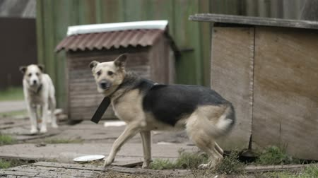 cur : Dog on a chain running and jumping near dog-house trying to catch food. Poor rural scene.