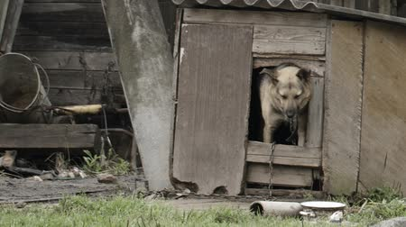 навес : Elderly dog peeking out of the door of a wooden dog house in the garden as though posing for the camera Стоковые видеозаписи