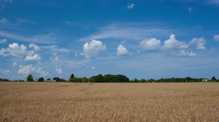 dożynki : Timelapse of wheat swinging in the wind and clouds running in bright blue sky Wideo
