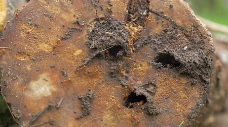 formicidae : Slow motion shot of ant colony living in old rotten wood. Stock Footage