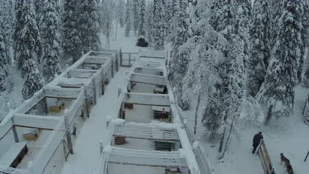 softwood forest : Aerial shot of a person starting ride at dog at in winter forest, view to the cages with husky sledge dogs and snowy woods Stock Footage