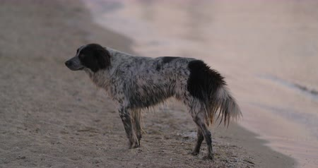 dog pound : Lonely wet mongrel dog by the sea. It looking sadly to the camera and walking away Stock Footage