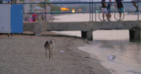 pariah dog : Dirty homeless stray dog is running on the beach along the seaside.