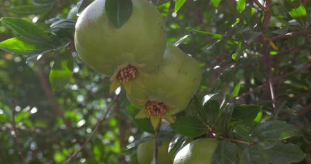 roma : Close-up shot of pomegranate tree with unripe fruit in bright sunlight. Fruit cultivation and agriculture