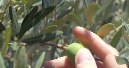olivový olej : Closeup shot of an olive growing on the tree, hand of unseen person is picking it off.
