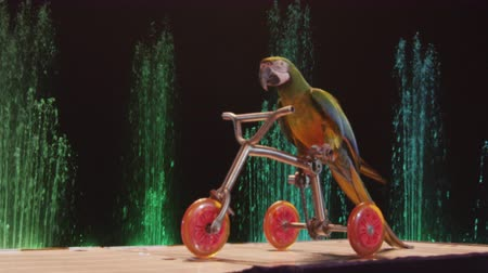 karnaval : MOSCOW, RUSSIA - FEBRUARY 21, 2011: Trained circus parrot riding a small bike. Russia is visited by more than 20 million tourists annually