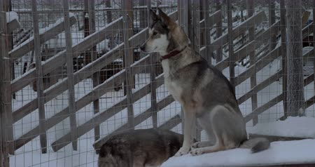 eskimo : Winter shot of sledge dog sitting still on its kennel in outdoor cage