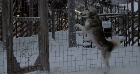 alarmed : Husky dogs expressing anxiety. Animals barking, jumping and falling on the cage. Shot in winter
