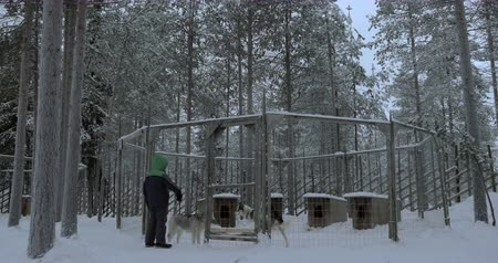 eskimo : Boy standing by the cage with two husky dogs and looking at them. Winter scene in the woods