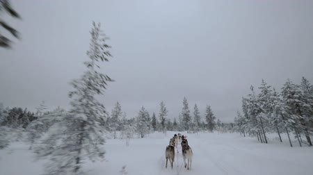 eskimo : Team of husky dogs running fast and pulling sledge through the snowy pinery. Northern adventures Stock Footage