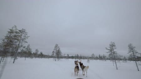 eskimo : Dogsled running in winter forest. Husky dogs making their way in snowy woods, view from the sledge Stock Footage