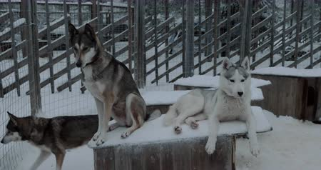 eskimos : Winter shot of two husky on kennel in open-air cage. One dog lying while another is on guard Wideo