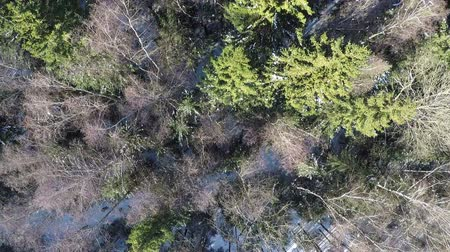bétula : Aerial winter view of spruce and bare birch trees in mixed forest